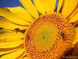 Sonnenblume-Web.jpg